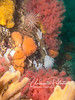 Yellow, orange, and tan sponges, as well as pink/red soft corals