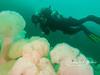 Giant plumous anemones
