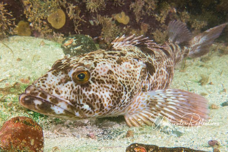 A very large (3-ft long) fish at Dillon Rock
