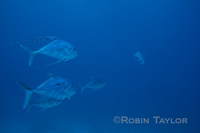 African Pompano, a large (3-5 ft long) fish, a small group has been hanging around the Sea Viking wreck.