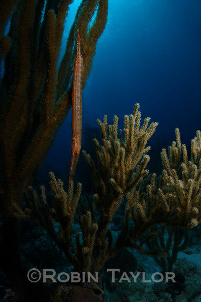 A Trumpetfish pretending to be coral.