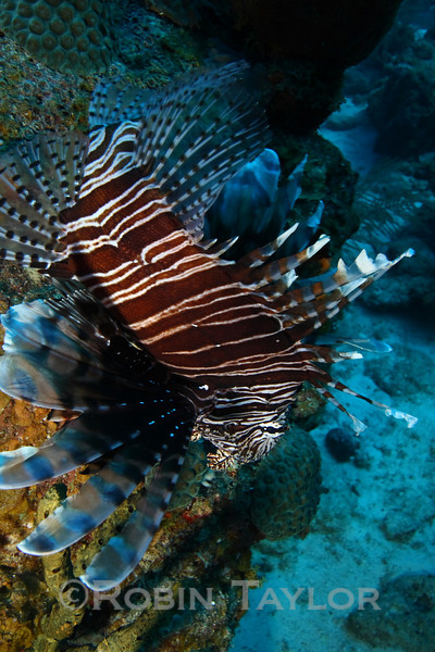 Lionfish looking to get away from that annoying photographer (me).