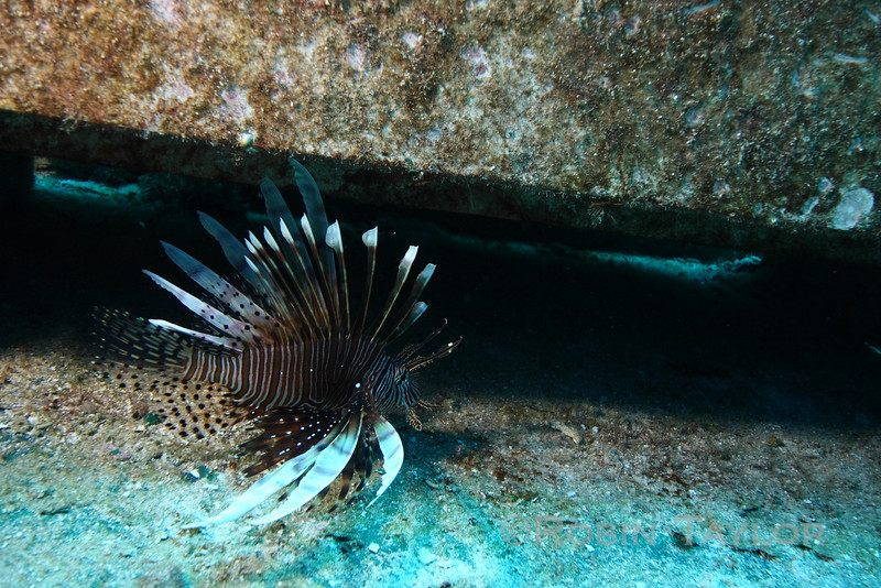 A lionfish prowls the foredeck.