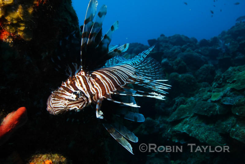 This lionfish is clinging to a coral head to avoid the current flowing past.