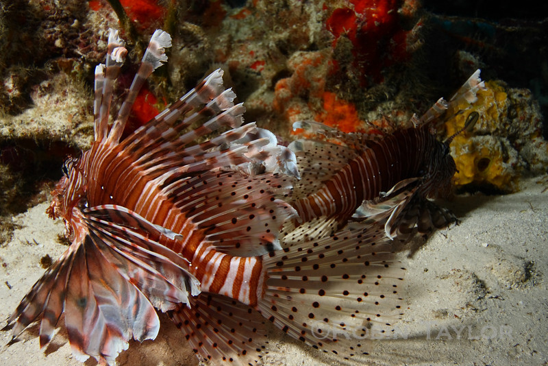 A couple lionfish napping out of the current.
