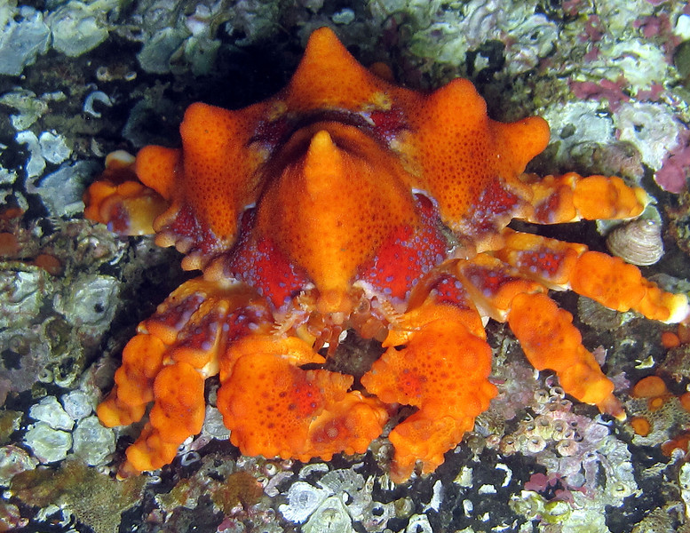 This one is about the size of your hand but as adult he can get as large as a dinner plate and weight several pounds. However as they grow larger this bright coloring will fade some what and he will become much harder to see. Most common from the San Juan islands north. They like high current locations.