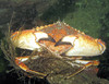 look close-- there is more here than a big red rock crab... Give up? He is holding his mate who matches his profile so closely that you really have to look close to see her.