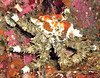 Juvinile Heart Crab