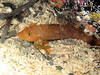 Young White spotted greenling