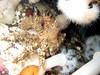 Adult Heart crab