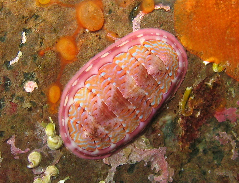 Brightly colored Chitin