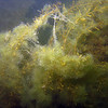 Eutrophication in Hood Canal, late summer algae growth on wire weed.<br /> Sund Rock, Hood Canal, WA<br /> 20080809