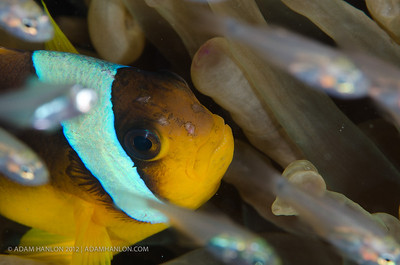 A Red Sea anemonefish sits in its host anemone, whilst common sweepers dart around it.