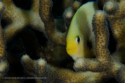 Arabian damselfish peers out