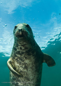 The Farne Islands, Northumbria, Uk are home to a wonderful rookery of seals.