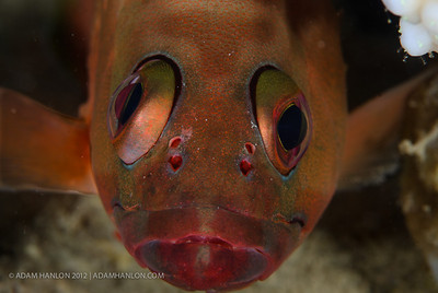 A downcast looking common bigeye doen't smile for the camera.