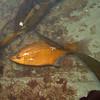 Kelp Perch