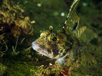 Spotfin Sculpin, Icelinus tenuis, taken at Sund Rock