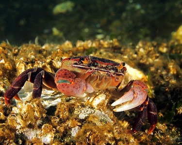 Purple shore crab - Hemigrapsus nudus. Taken at Octopus Hole, Hood Canal.