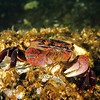 Purple shore crab - Hemigrapsus nudus. Taken at Octopus Hole, Hood Canal.