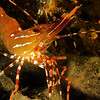 Spot Prawn, Pandalus platyceros, taken at Sund Rock