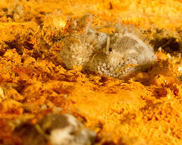 Barnacle Eating Nudibranch, Onchidoris Bilamellata. Taken at Redondo.