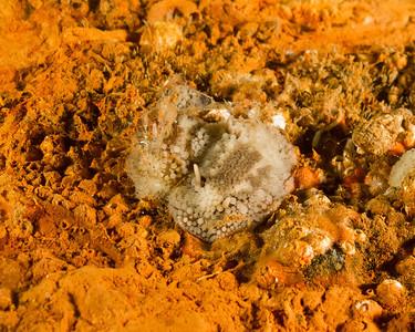 Barnacle Eating Nudibranch, Onchidoris Bilamellata. Taken at Redondo.