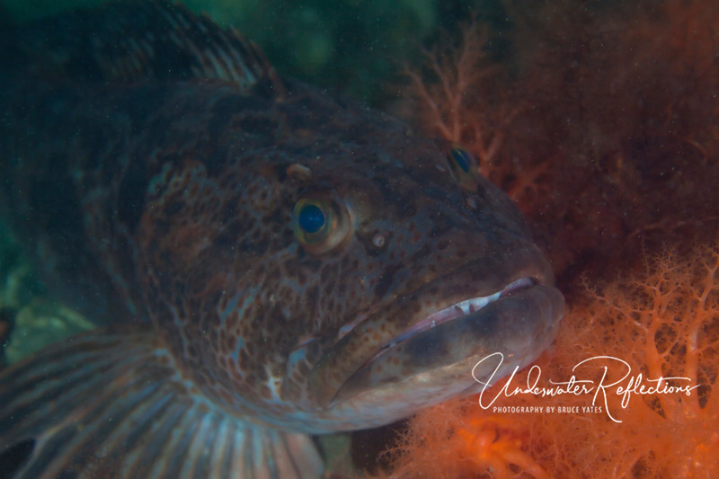 """Large (3 ft long, 15-20lbs) Ling Cod - unfortunately, I was shooting with a 100mm macro lens, so this was taken from about 4 feet away in """"hazy"""" water!"""