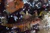 Longfin Sculpin (1 inch)