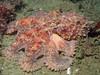 Red octopus (1 foot across)