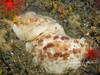 2 large nudibranchs (6 inches long)