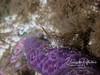 Coonstripe Shrimp on purple seastar leg