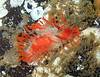cockerells dorid
