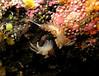 Flabellina verrucosa