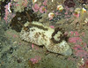 Barnacle eating nudibranch