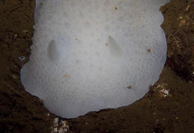 giant white dorid