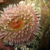Stubby Rose Anemone