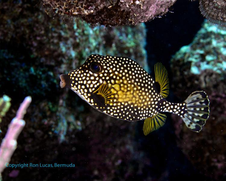 Smooth Trunkfish 1