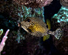 Smooth Trunkfish 1