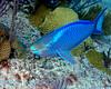 Queen Parrotfish 4