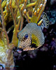 Smooth Trunkfish 4