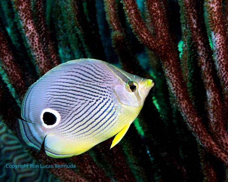 Foureye Butterflyfish 1