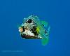 Smooth Trunkfish 5