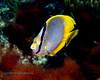 Spotfin Butterflyfish 2