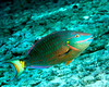 Stoplight Parrotfish 1