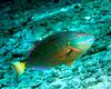 Stoplight Parrotfish 1