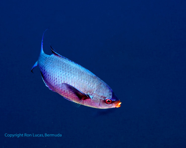 Creole Wrasse 3