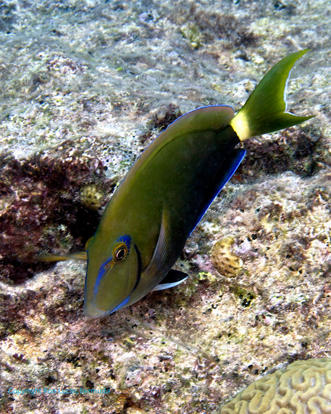 Ocean Surgeonfish 2