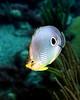 Foureye Butterflyfish 5