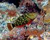 Stoplight Parrotfish Int 2
